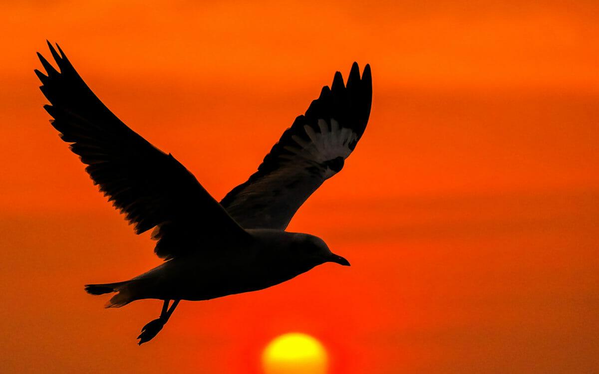 bird flying at sunset